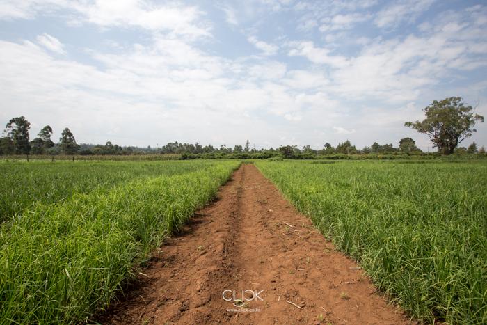 The Kenya Agricultural and Livestock Research Organisation finger millet farm in Kakamega, Kenya, on 22nd July 2016.