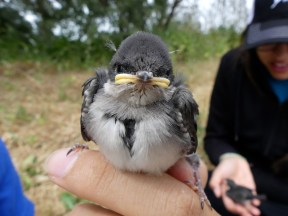 Tree Swallow nestling