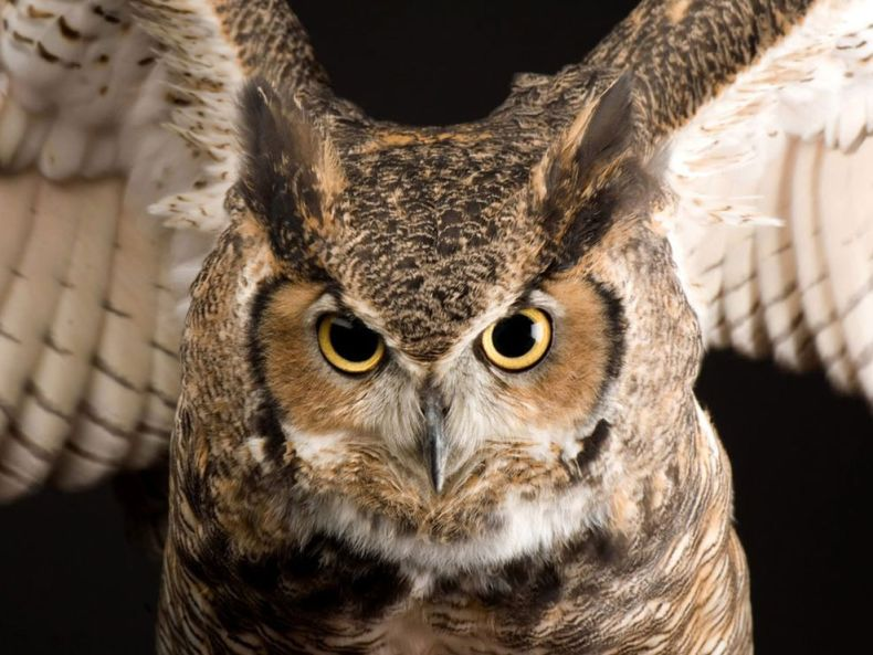 great-horned-owl_773_990x742
