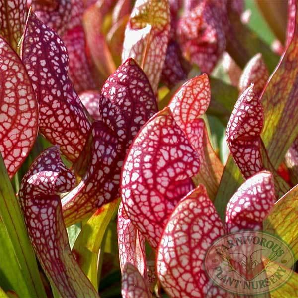 Sarracenia plant