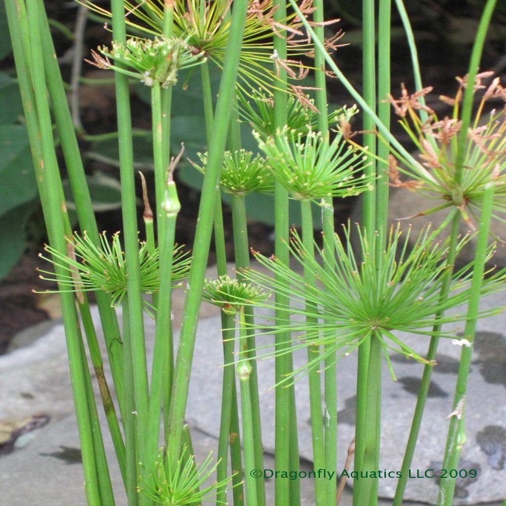Dwarf Papyrus plant