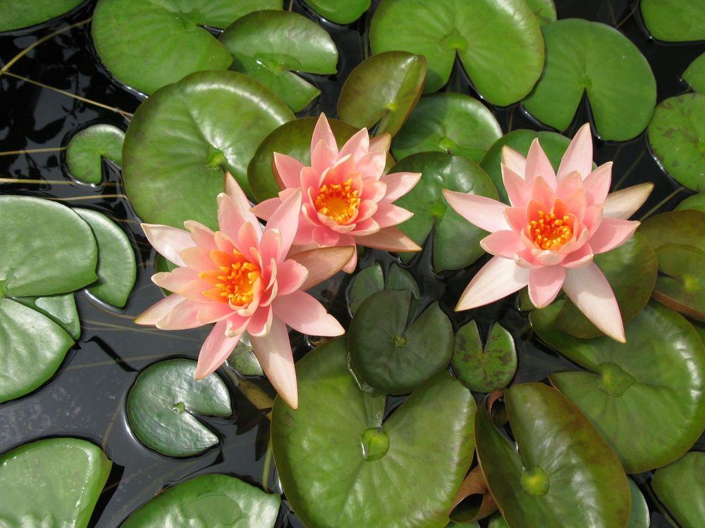 Waterlily Colorado plant
