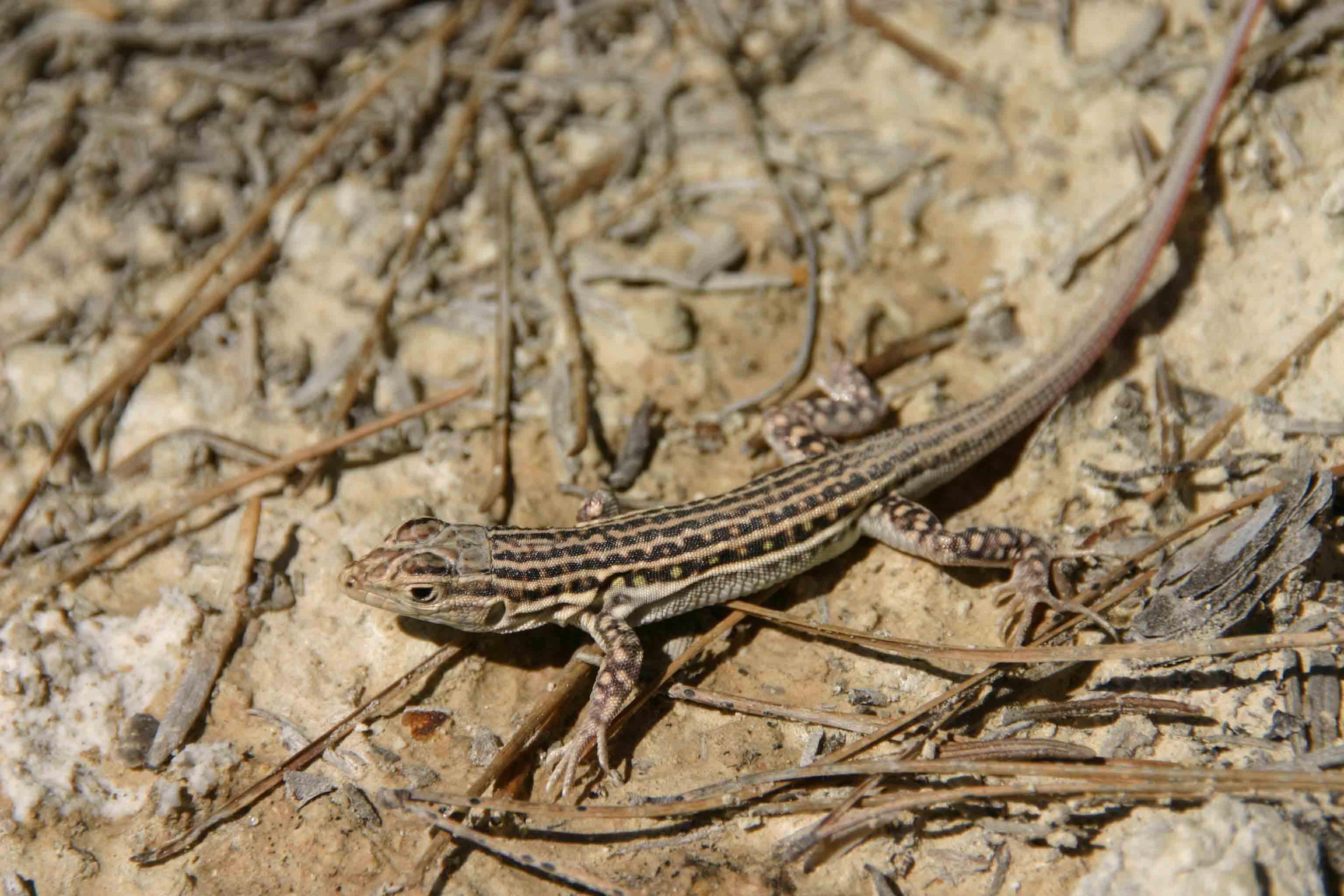 Spiny-footed lizard (Acanthodactylus erythrurus)