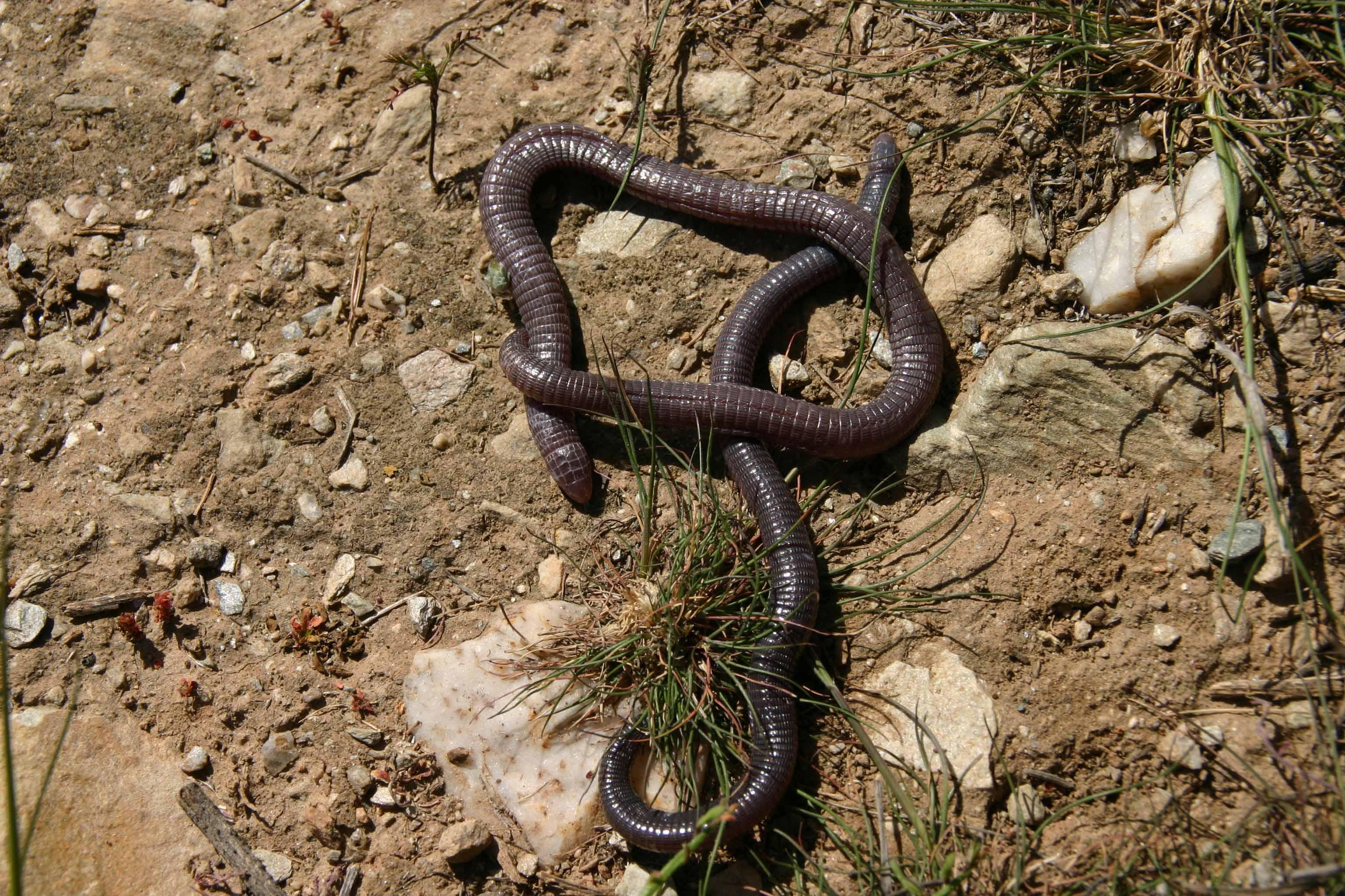 A pair of Iberian worm lizards (Blanus cinereus)