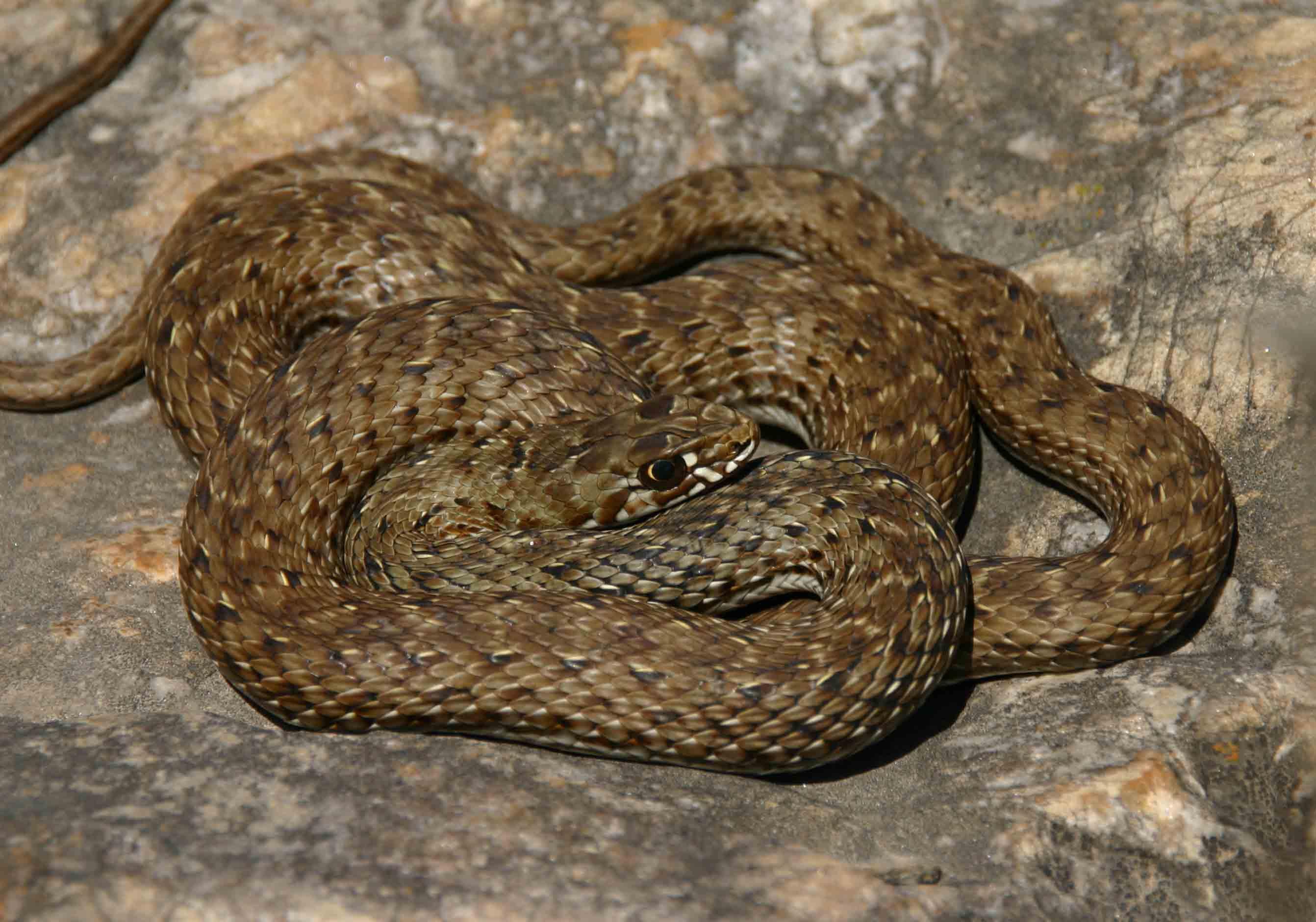 Female Montpellier snake (Malpolon monspessulanus)