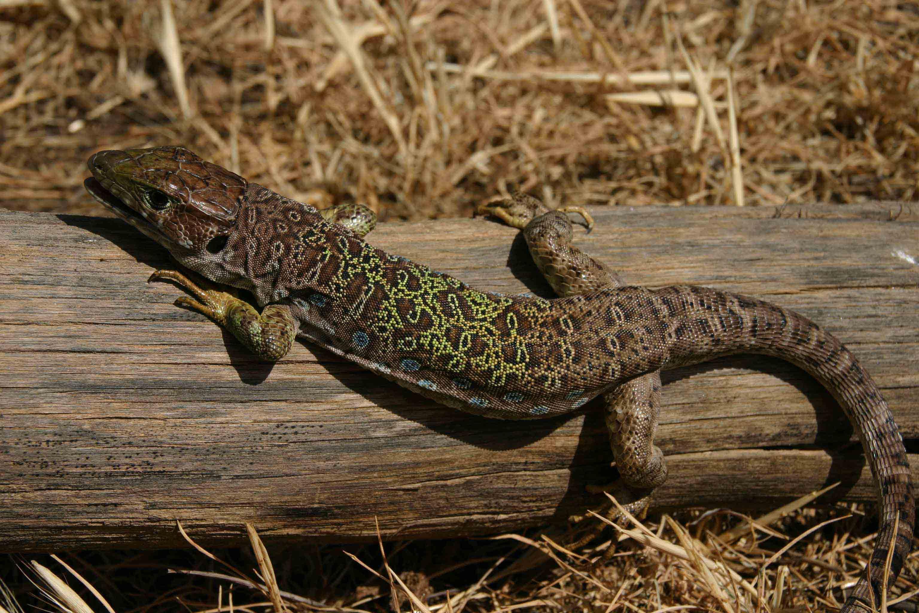 Sub-adult Ocellated lizard (Timon lepidus nevadensis)
