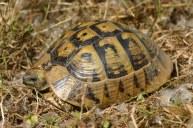 Hermann's tortoise (Testudo hermanni), Greece (C) Matt Wilson