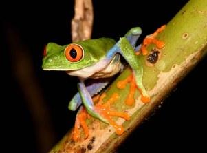Red-eyed tree frog (Agalychnis callidryas) Costa Rica, (C) Matt Wilson