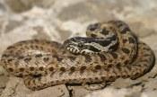 Blotched snake (Elaphe sauromates) Thrace, Greece (C) Matt Wilson
