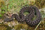 Asp viper (Vipera aspis zinnikeri), Pyrenees, France (C) Matt Wilson