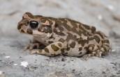 Green toad (Bufo viridis) Greece (C) Matt Wilson