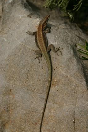Oertzen's rock lizard (Anatololacerta oertzeni), Symi, Greece (C) Matt Wilson