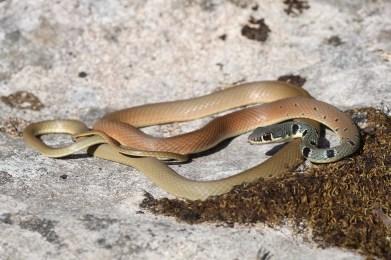 Dahl's whip snake (Platyceps najadum), Corfu