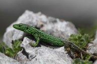 Iberian rock lizard (C) Matt Wilson