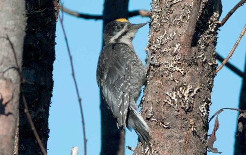 black-backed woodpecker, adult male