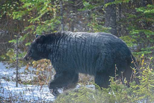 Black bear of new hampshire