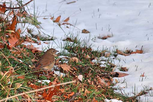 Hermit thrush in the snow