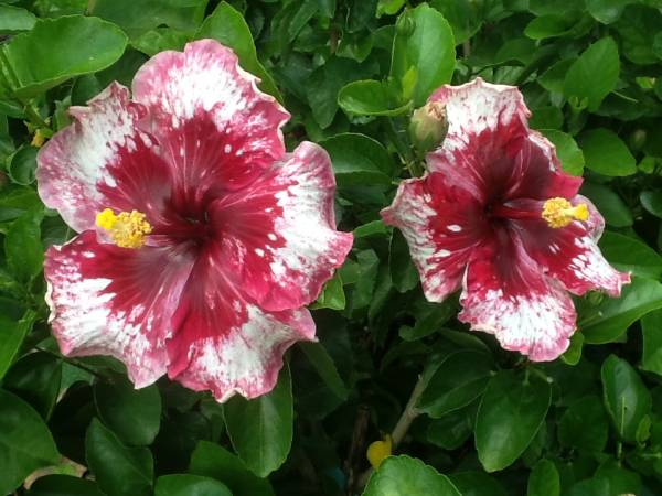 Китайская Роза – сорта и уход в домашних условиях