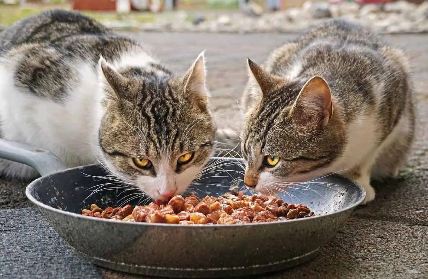 ¿Qué comida para gatos se recomienda realmente?