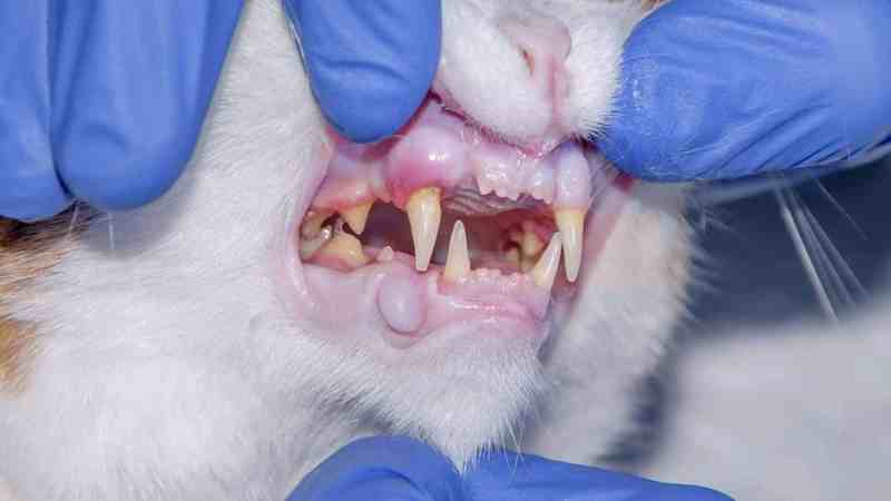 FORL is the most common dental disease in cats how to treat and prevent?