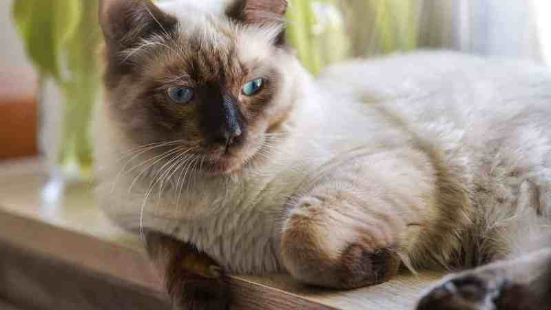The Ragdoll – a breed portrait