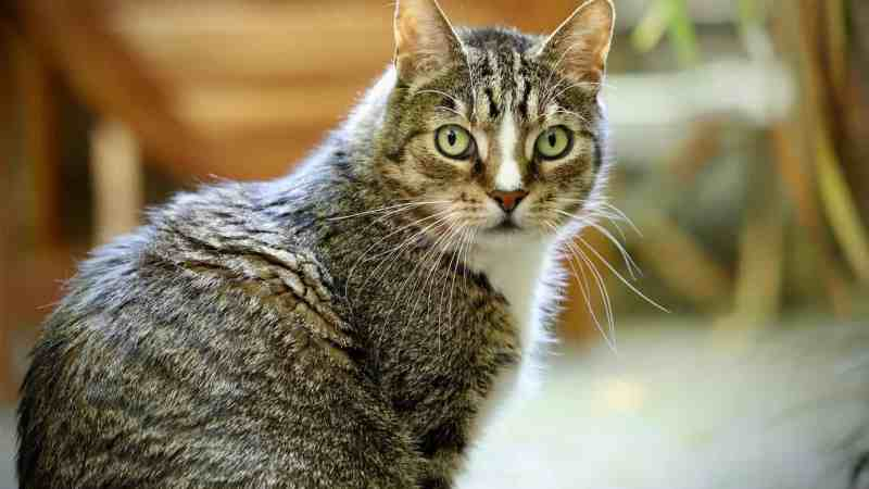 The European Shorthair – an extraordinary cat breed
