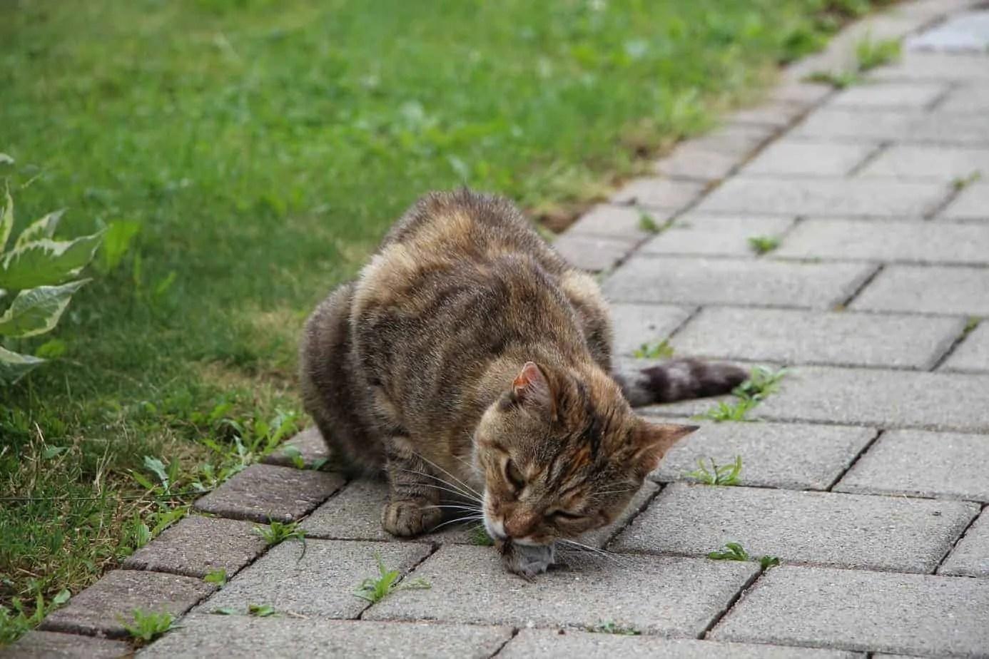 Un remède ver est-il recommandé pour les chats?