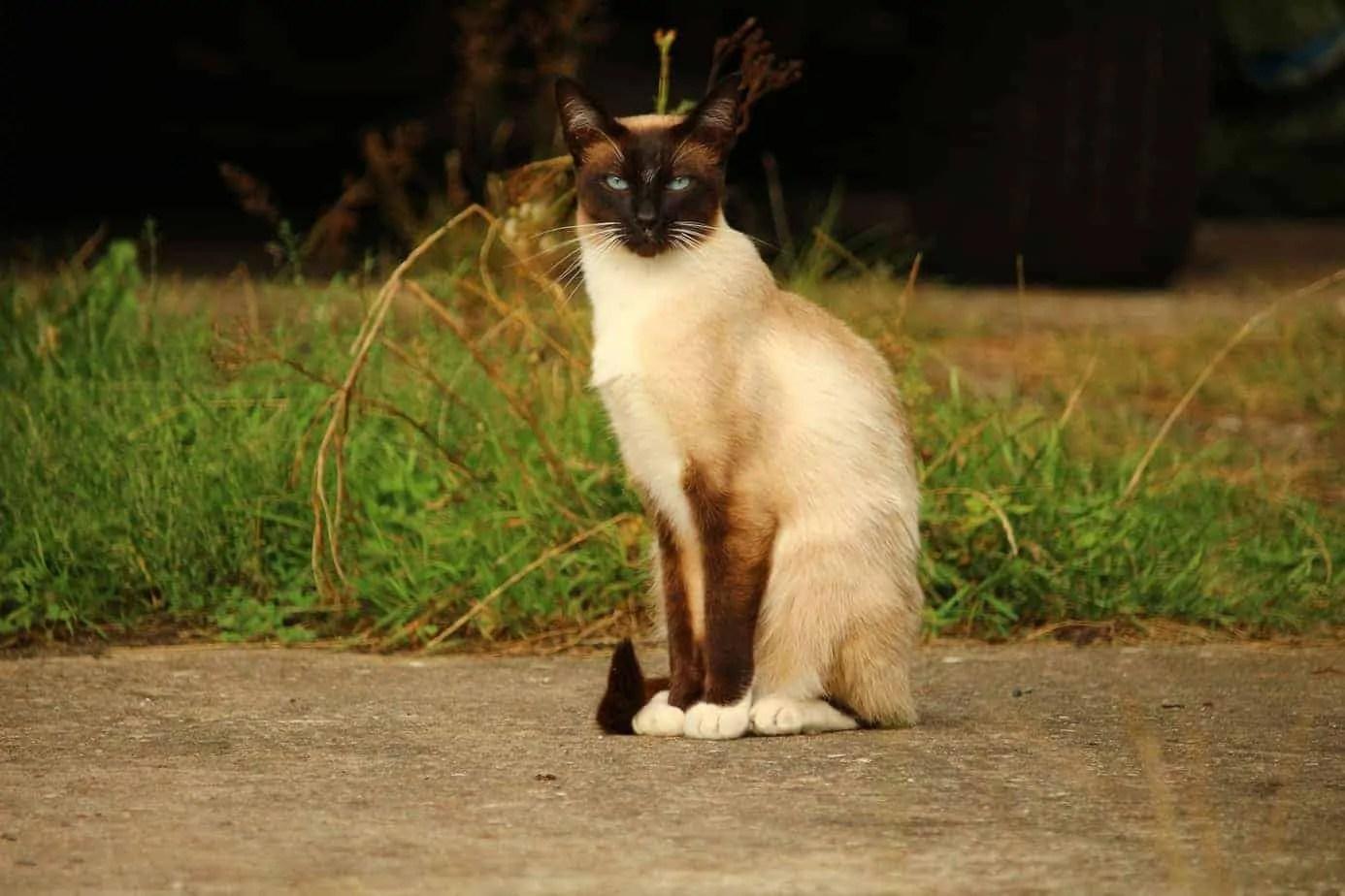Merveilleux chats siamois – Portrait de race
