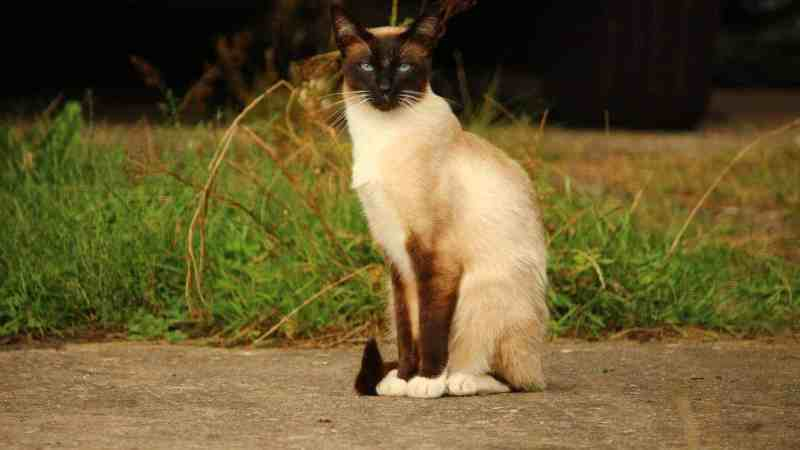 Wonderful Siamese Cats – Breed Portrait
