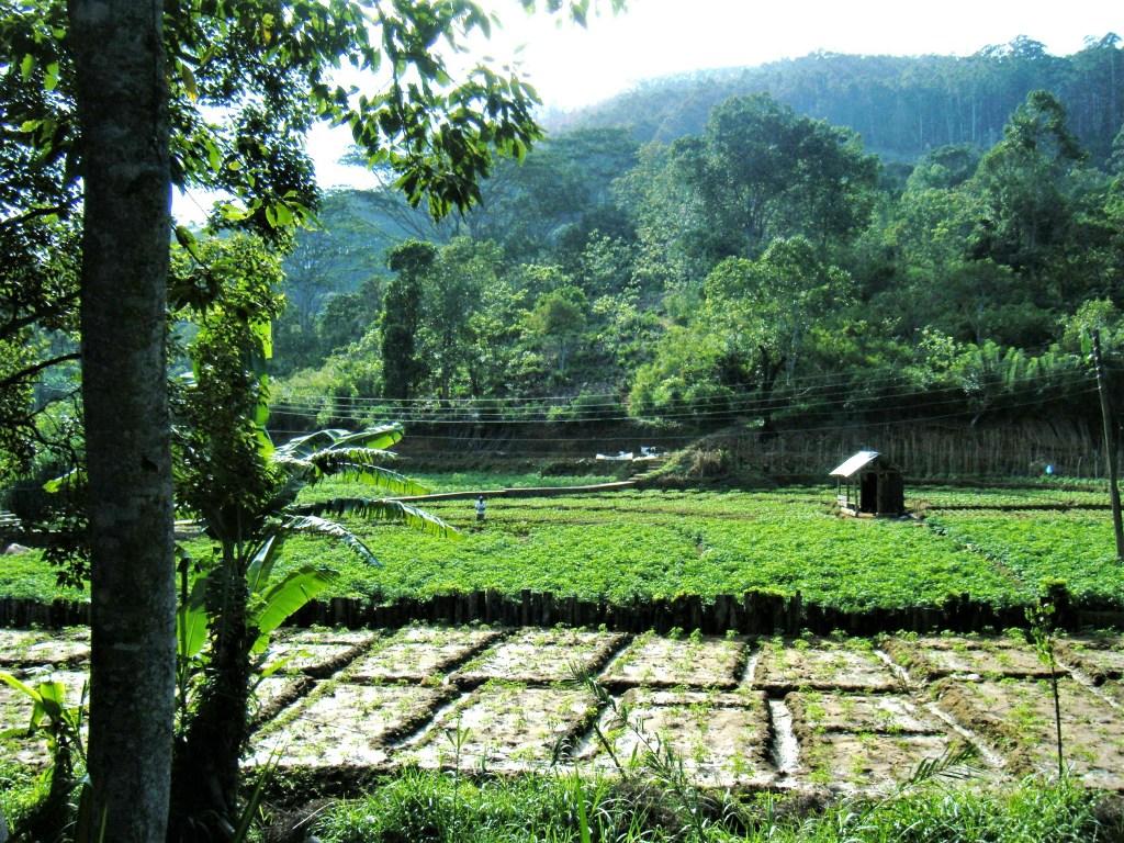 Rizière au SRi Lanka