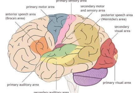 Interior parts of the brain free interior design mir detok human brain and its parts biology youtube internal brain diagram and functions basic guide wiring diagram human brain photoes with parts inspirational parts ccuart Gallery