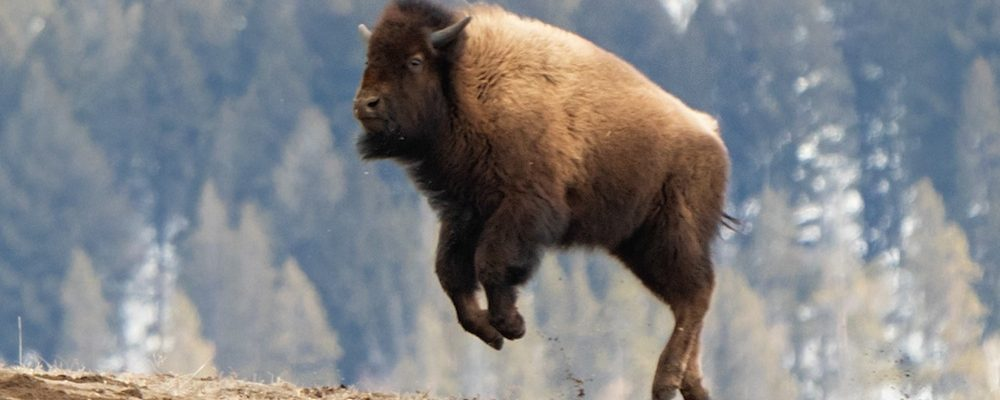 Yellowstone bison cannot fly, despite what it seems