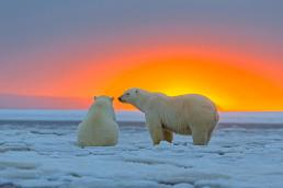 polar-bears-at-sunset-m-watson