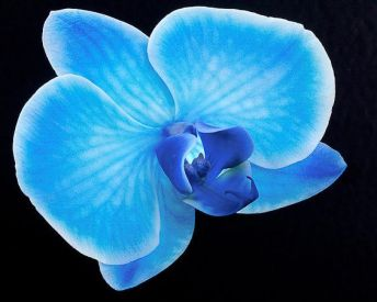 """Shot in my Greenhouse today. Homestead, Fla. - Silver Vase proudly introduces Blue Mystique, the world's first blue orchid. Exclusive patented technology makes this new introduction truly distinctive. """"We're pleased to give a first look at the hottest new variety the orchid world has seen in years,"""" said Silver Vase CEO Andrew Bartha. """"Blue Mystique is truly the most unique orchid on the market."""" Exceptional in any setting, Blue Mystique adds flair to home and office alike. Its long-lasting, lovely blooms shine electric blue on a dramatic single or double spike. Blue Mystique thrives in low to medium light and comes in a 5"""" pot. Silver Vase debuted Blue Mystique at the Tropical Plant Industry Exhibition (TPIE) in Ft. Lauderdale, Florida, January 19-21. Orders are being taken now. About Silver Vase, Inc. Silver Vase, Inc. brought year-round availability of Phalaenopsis orchids to the United States. Founded in 1988, the company is known as one of the most innovative potted plant growers in North America, revolutionizing the industry through many distribution and packaging changes. Today their fully robotized and environmentally friendly greenhouse operation produces more than 2 million units from nearly 1 million square feet of climate-controlled facilities. Silver Vase operates its own distribution network, serving a broad range of customers, and is the largest U.S. partner to Dutch breeder Floricultura. For more information visit www.silvervase.com. Source: Silver Vase, Inc."""