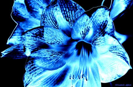 abstract-lilies-blue-elizabeth-abbott