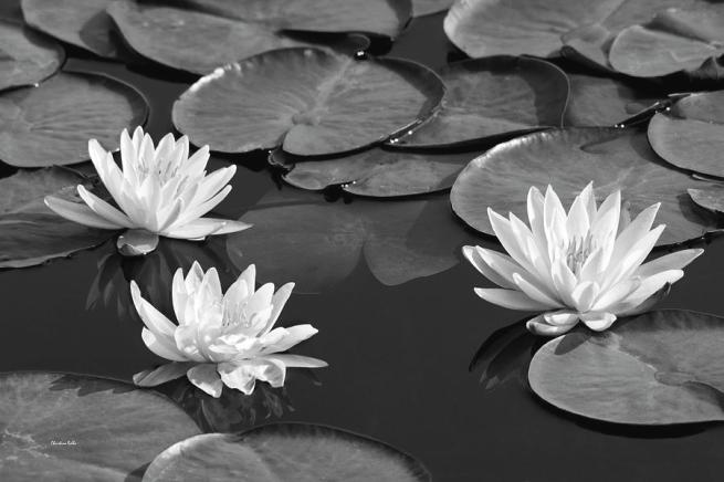 black-and-white-water-lilies-christina-rollo