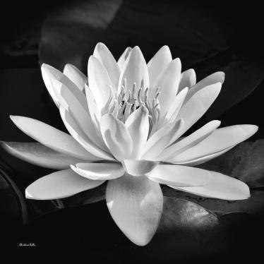 black-and-white-water-lily-christina-rollo