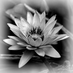water-lily-black-and-white-carol-groenen