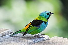 220px-Green-headed_Tanager_Ubatuba
