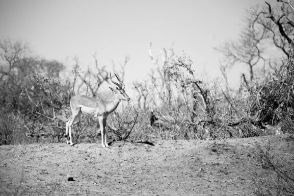 blur in kruger parck south africa wild impala in the winter bush