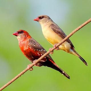 A_pair_of_Red_avadavat_(Amandava_amandava)_Photograph_by_Shantanu_Kuveskar
