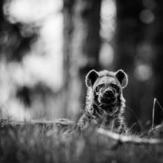 african-wild-dog-bw-wildlife-wallpaper-preview