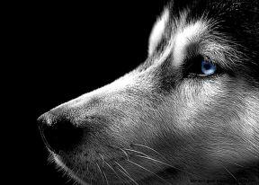 black-and-white-husky-photographyimage-gallery-siberian-husky-dec