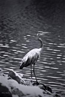 black-white-heron-debra--vatalaro