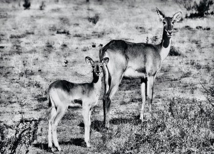 female-gazelle-with-child-photographic-print-on-canvas-in-monochrome
