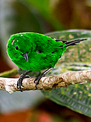 Glistening-green-Tanager_003600