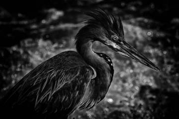 goliath-heron-rick-budai
