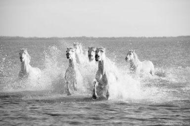 Horses Runnning in Sea