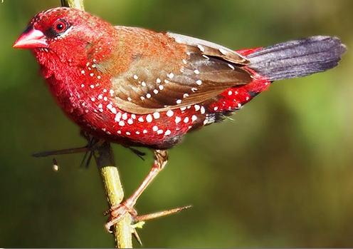 Red Munia Strawberry Finch Red Avadavat
