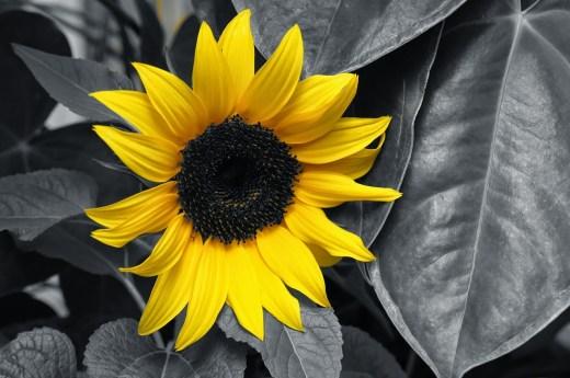 sunflower-605358_1280